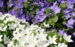 Цветок Жених и Невеста: научное название, уход в домашних условиях, размножение, пересадка. Комнатный цветок Жених и Невеста: приметы в народе. Как выглядеть незабываемо на ваших свадебных фотографиях